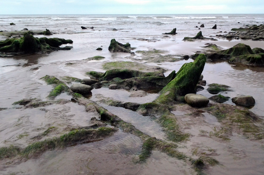 Guided walk of the trees stumps and peat exposed by low tides at Borth