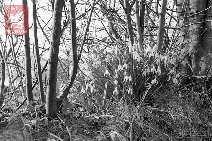 Snowdrops at Caerwedros, 1963 Ref. acc01100d6     C.884537     Copyright: Arthur Chater