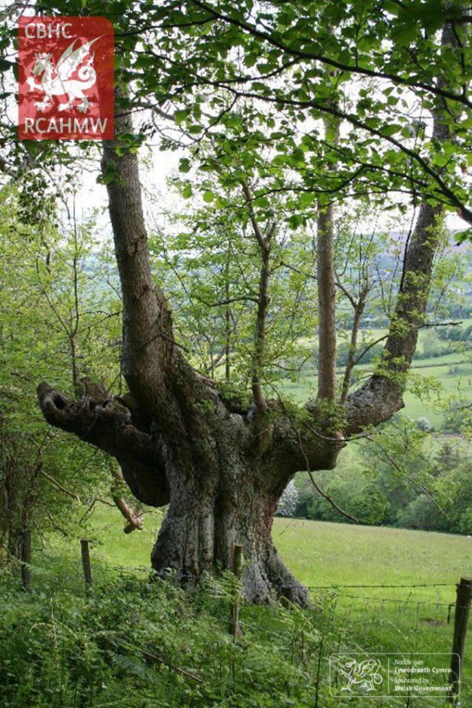Onnen wedi'i Thocio, Coed-y-Gaer, 2006 Cyfeirnod DS2006_047_005     C.524054     NPRN: 404425